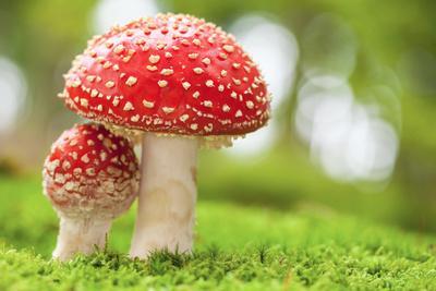 https://imgc.artprintimages.com/img/print/macro-photo-of-amanita-muscaria-in-forest_u-l-q103ivn0.jpg?p=0