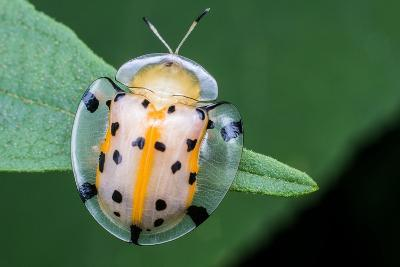 Macro Photography - Transparent Yellow Ladybird- KeongDaGreat-Photographic Print