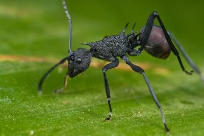 https://imgc.artprintimages.com/img/print/macro-shot-of-a-spiny-black-ant_u-l-q1a3osb0.jpg?p=0
