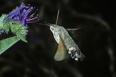 Macroglossum Stellatarum (Hummingbird Hawk-Moth) - Flying and Feeding on Flower Nectar-Paul Starosta-Photographic Print