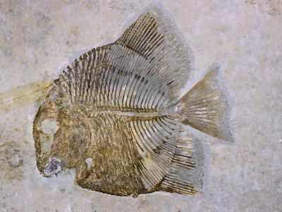 Macromesodon Macropterus Fish Fossil-Naturfoto Honal-Photographic Print