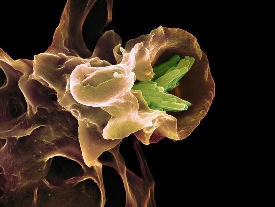 Macrophage Engulfing TB Bacteria, SEM-Science Photo Library-Photographic Print