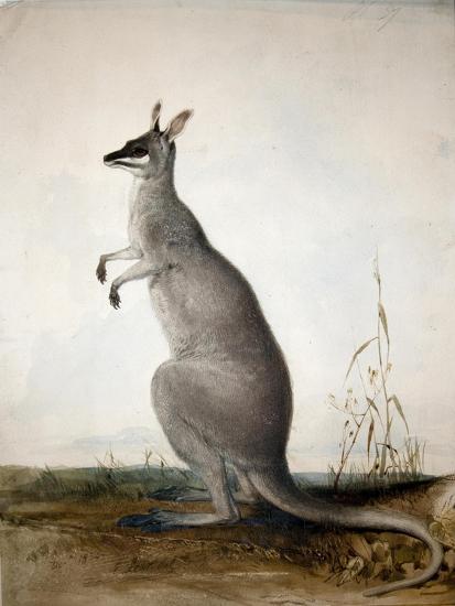 Macropus Parryi, 1834-Edward Lear-Giclee Print