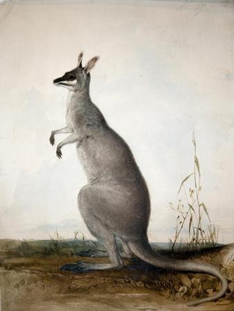 https://imgc.artprintimages.com/img/print/macropus-parryi-1834_u-l-pk5bj30.jpg?p=0