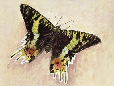 Madagascan Sunset Moth (Chrysiridia Rhipheus), Uraniidae--Giclee Print