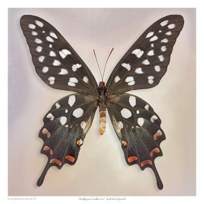 Madagascan Swallowtail-Richard Reynolds-Art Print