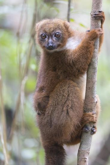 Madagascar, Akanin'ny Nofy Reserve. Female red-bellied lemur clinging to a tree with baby-Ellen Goff-Photographic Print