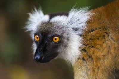 https://imgc.artprintimages.com/img/print/madagascar-akanin-ny-nofy-reserve-portrait-of-a-female-black-lemur_u-l-q1ga4ks0.jpg?p=0