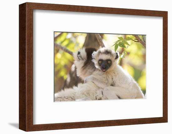 Madagascar, Berenty Reserve. Portrait of a Verreaux's sifaka mother carrying her baby.-Ellen Goff-Framed Photographic Print
