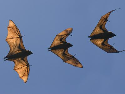 Madagascar Fruit Bat Flying Fox Berenty Reserve, Madagascar-Edwin Giesbers-Photographic Print