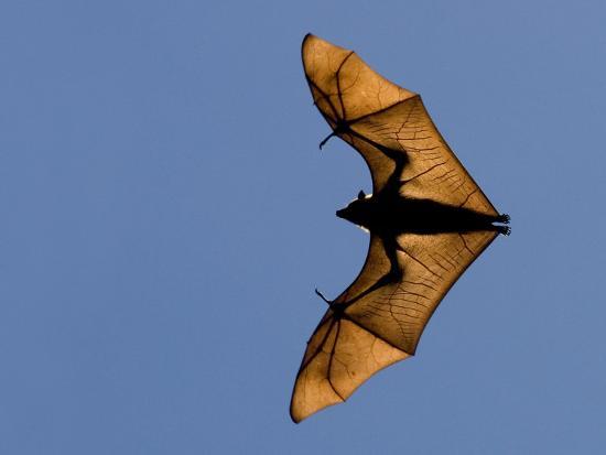 Madagascar Fruit Bat Flying Fox Berenty Reserve, Madagascar-Edwin Giesbers-Photographic Print