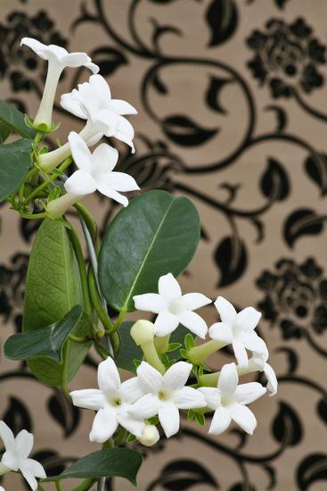Madagascar Jasmine or Waxflower, Blossoms, Indoor Plant, Climbing Plant-Sweet Ink-Photographic Print