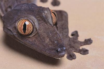 Madagascar Leaf-Tail Gecko-DLILLC-Photographic Print