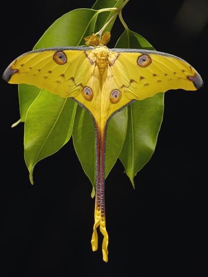 Madagascar Moon Moth or Comet Moth (Argema Mittrei) on Jamun (Eugenia Jambolana) Leaves-Pete Oxford-Photographic Print