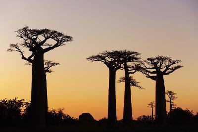 Madagascar, Morondava, Baobab Alley, Adansonia Grandidieri at Sunset-Anthony Asael-Photographic Print