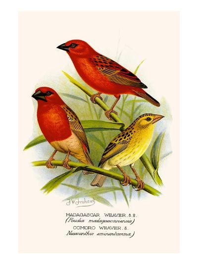 Madagascar Weaver and Comoro Weaver-F^w^ Frohawk-Art Print