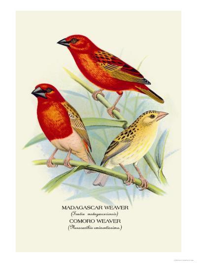 Madagascar Weaver, Comoro Weaver-Arthur G^ Butler-Art Print