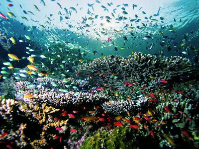 Madreporic Formation at Sipadan Island with Thousands of Little Chromis and Pseudanthias Fishes-Andrea Ferrari-Photographic Print