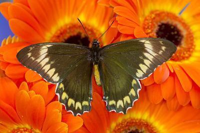 Madyes Swallowtail Butterfly, Battus Madyes Buechi Wings Open-Darrell Gulin-Photographic Print