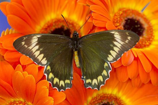 Madyes Swallowtail Butterfly, Battus Madyes Buechi Wings Open-Darrell Gulin-Photographic Print