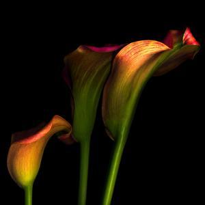 Calla Lily 2 by Magda Indigo