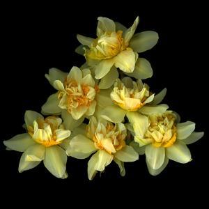 Daffodils by Magda Indigo