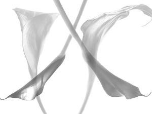 Diaphanous Calla Lilies by Magda Indigo