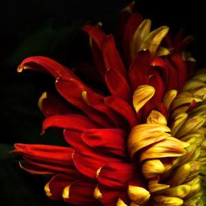 Flamenco Duotoned Chrysanthemum by Magda Indigo