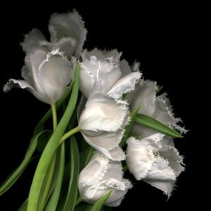 Frayed Tulips by Magda Indigo