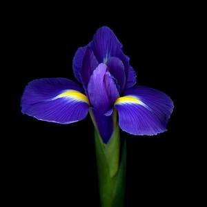 iris by Magda Indigo