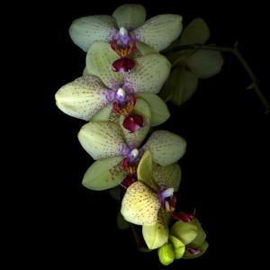 Orchid Cascade by Magda Indigo