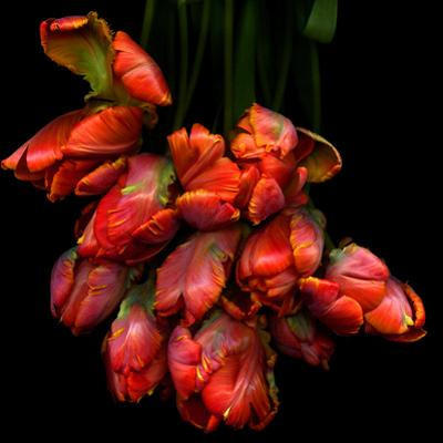 Parrot Tulips by Magda Indigo