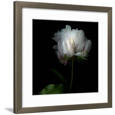 Peony in Heavenly White