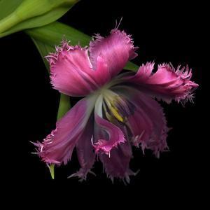 Pink Frazzled Tulip by Magda Indigo