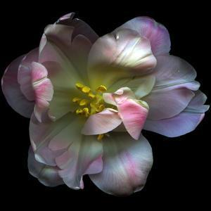 Pink Tulip by Magda Indigo