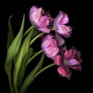 Pink Tulips 2 by Magda Indigo