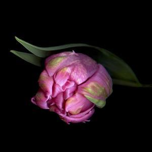 Pink Tulips 8 by Magda Indigo
