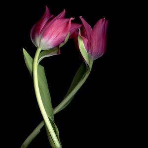 Pink Tulips 9 by Magda Indigo