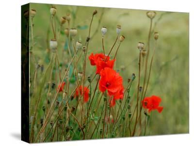 Poppies on Flanders Fields