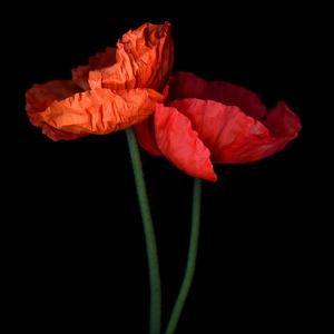 poppy by Magda Indigo