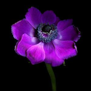 Purple Anemones Heart by Magda Indigo