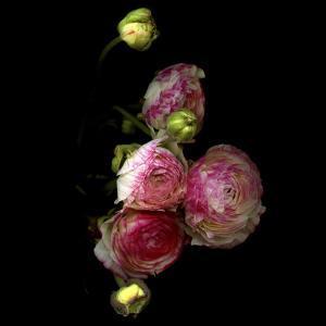 Ranunculus 11 by Magda Indigo