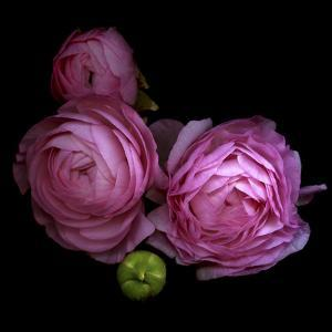 Ranunculus 2 by Magda Indigo