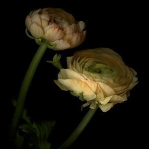 Ranunculus 3 by Magda Indigo