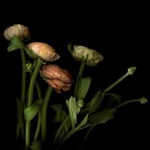 Ranunculus 4 by Magda Indigo