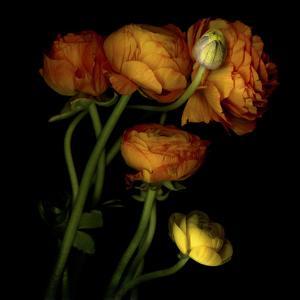 Ranunculus 5 by Magda Indigo
