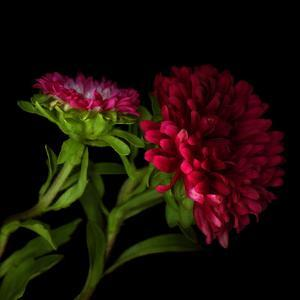 Red Aster I by Magda Indigo