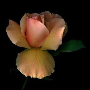 Rose 2 by Magda Indigo