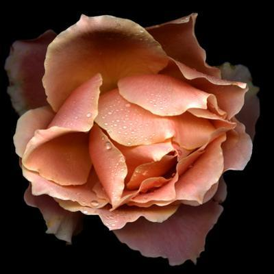 Rose Just Joey by Magda Indigo