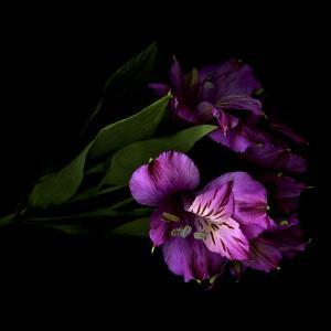 Royalty - Alstroemeria by Magda Indigo
